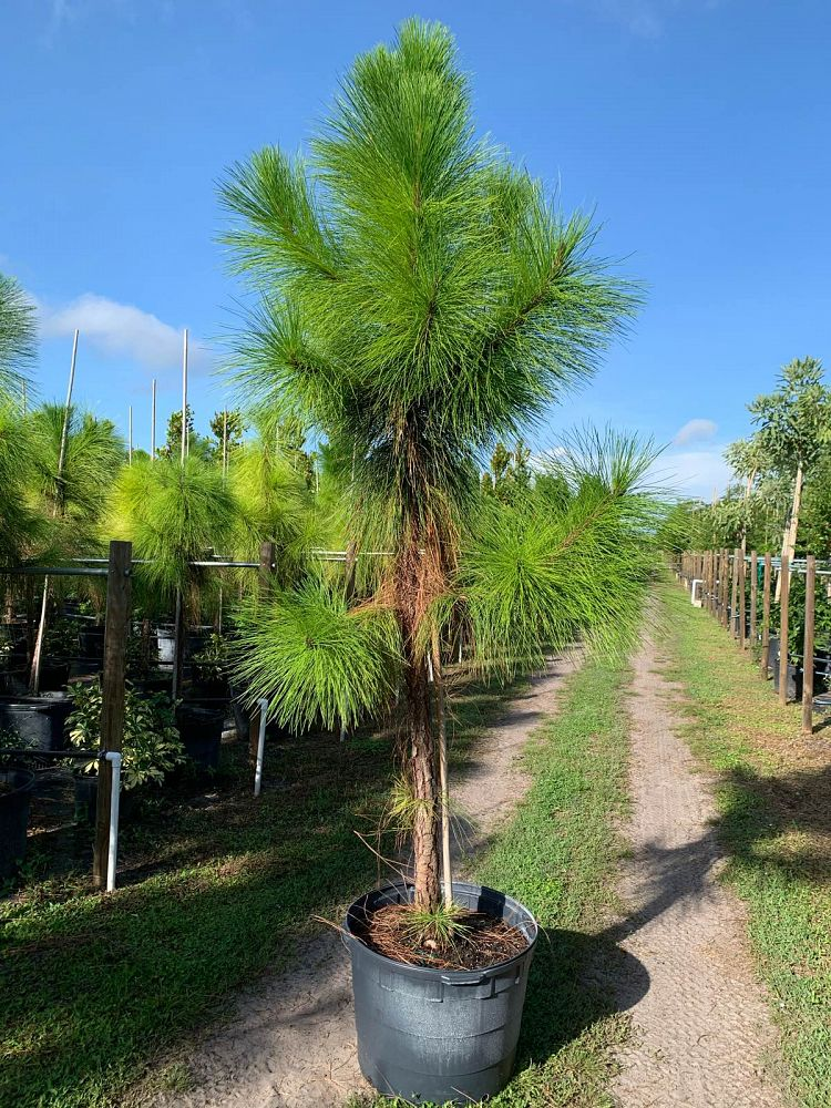 pinus-elliottii-densa-densa-pine-south-florida-slash-pine
