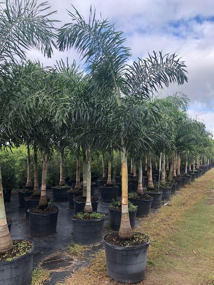 wodyetia-bifurcata-foxtail-palm